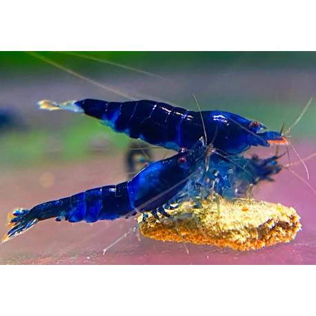 Caridina cf. cantonensis - Crazy Blue