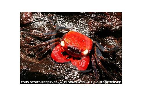 Geosesarma Vampire Red Devil