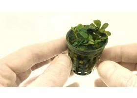 Bucephalandra spec. Lamandau mini