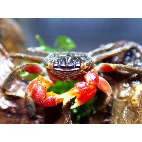 Sesarma Mederi - Crabe à Pince rouge