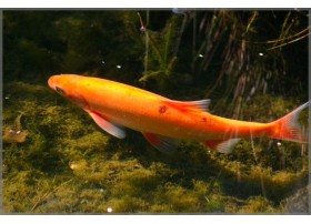 Ide melanote, 10-12 cm, Couleur : Orange