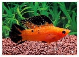 Molly voile, 5-6cm, Léopard rouge, couple
