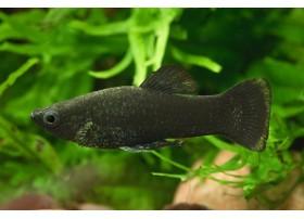 Molly, Noir, 4-5cm