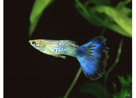 Guppy, Cobra bleu, 4-4,5cm, Mâle