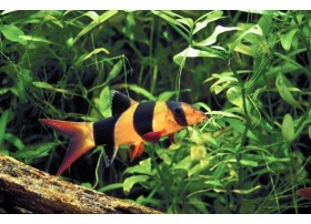 Loche-clown, Orange et noir, 9-10cm