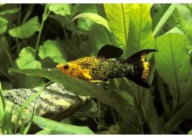 Molly, Paillété or lyre, 4-5cm