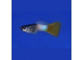 Guppy, 4 à 4,5cm, Abeille, Mâle