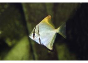 poisson-luned'argent, Argenté, 3-4cm