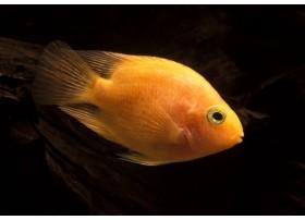 Red Parrot, poisson Perroquet, Jaune, 5-6cm
