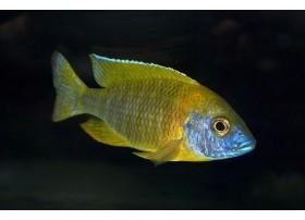 Aulonocara stuartgranti, Jaune et bleu, 5 à 6cm