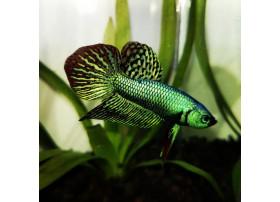 Betta splendens Alien Green 4 à 6 cm