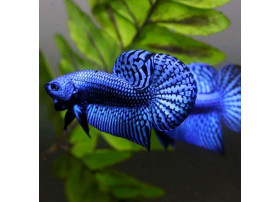 Betta splendens Alien Blue 4 à 6 cm
