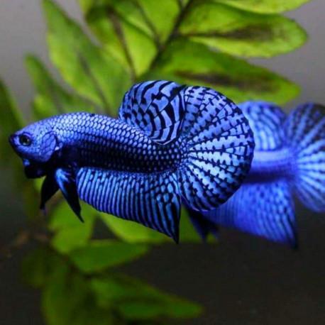 Betta splendens Alien Blue 4-6 cm