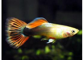 Guppy Kumara Gold 4 à 4,5 cm, Mâle