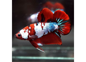 Betta splendens Red Fancy 4 à 5 cm