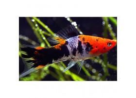 Xipho Sanke Tricolor 4 à 5 cm