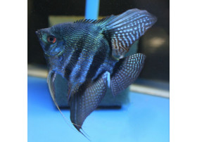 Scalaire Bleu Pinoy 3 à 4 cm