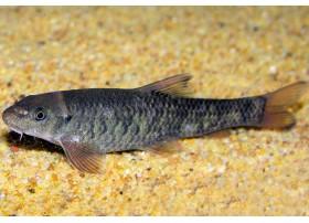 Poisson docteur, Fish pédicuren Brun
