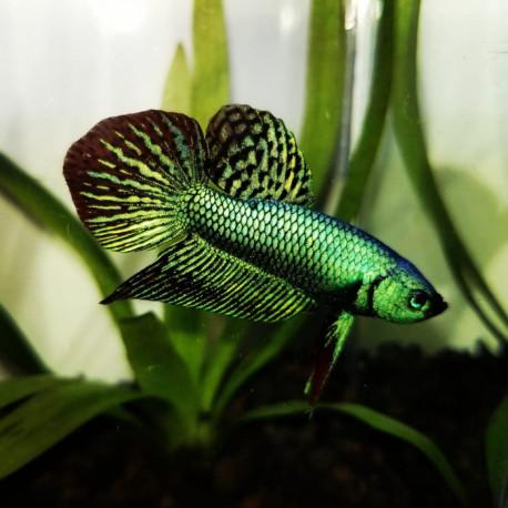Betta splendens Alien Green 4-6 cm