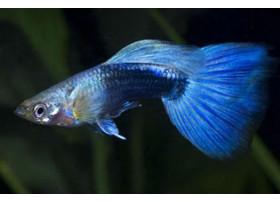 Guppy Mâle Neon Bleu 3,5-4 cm