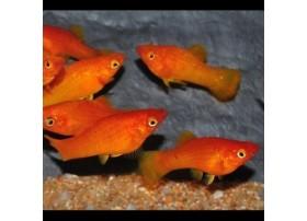 Molly Rouge-orange, 4 à 5 cm