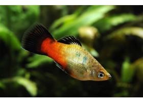 Platy, Wagtail rainbow, 3 à 4 cm