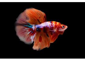 Combattant, Betta Splendens Halfmoon Plakat Nemo