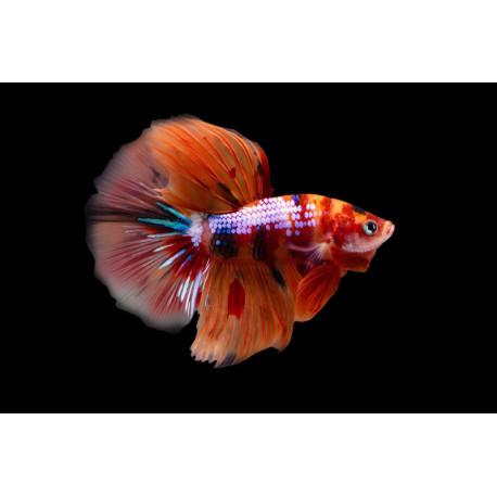 Betta splendens Halfmoon Plakat Nemo