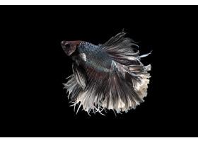 Combattant, Betta Splendens Halfmoon Noir & Blanc 5 à 6 cm