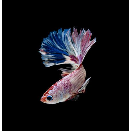 Combattant, Betta Splendens Tricolore, 5 à 6 cm, Mâle