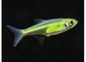Le Microrasbora kubotai , 1,5cm