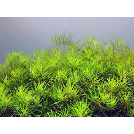 Limnophila mini Vietnam
