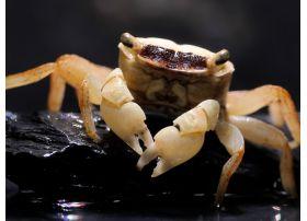 Métasesarma Obesum - Marble Batik Crab