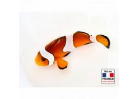 Amphiprion ocellaris 3 à 4 cm