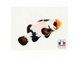 Amphiprion ocellaris Black Ice Premium 3 à 4 cm