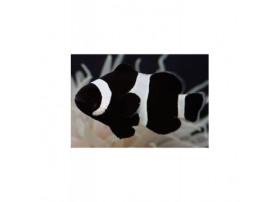 Amphiprion ocellaris Full Black 3 à 4 cm