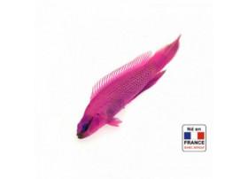 Pseudochromis fridmani 3,5 à 5 cm