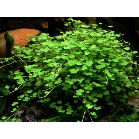 Hydrocotyle Tripartita mini