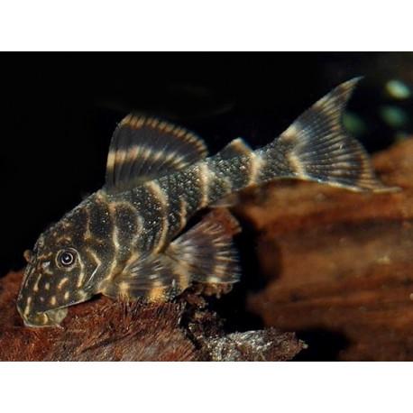 Panaqolus maccus L104/L162