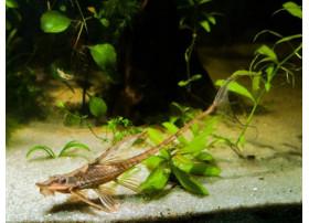 Sturisoma foerschi - Silure à barbe dorée