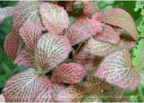Fittonia argyroneura rouge