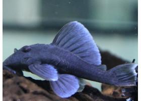 Baryancistrus beggini - L239 - Blue Fin