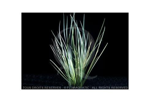 Acorus Variegatus Blanc Vert