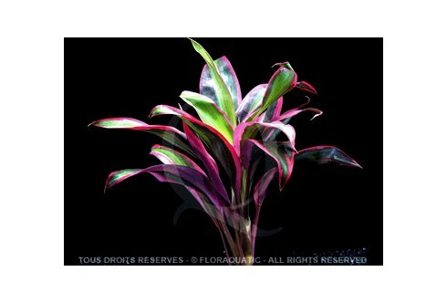 Cordyline Rouge
