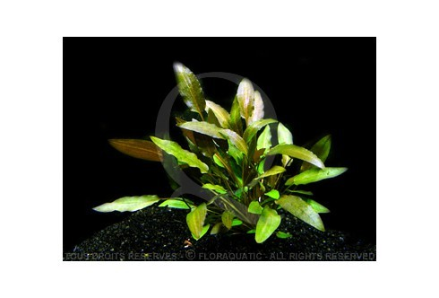 Cryptocoryne spec Indonesia