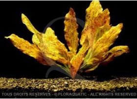 Echinodorus Golden Flame