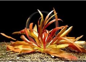 Echinodorus Rubin spec Narrow Leaves