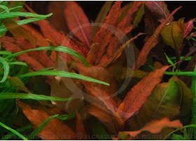 Hygrophila Angustifolia Red