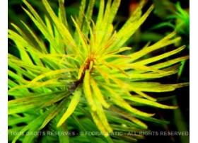 Ludwigia Inclinata var Verticillata Cuba
