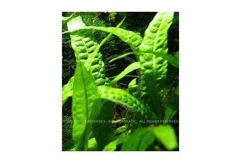 Microsorum Pteropus Undulata